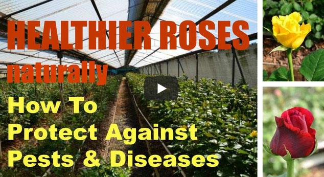 HEALTHIER ROSES: How To Protect Against Pests & Diseases… 'UNKNOWN GROWTH FACTOR'